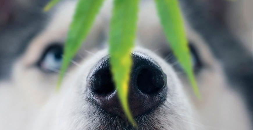 Dog smelling hemp plant